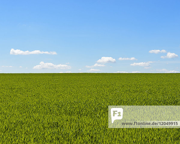 Grainfield with Sky and Clouds in Spring  Baden-Wurttemberg  Germany