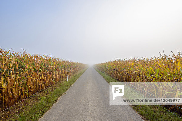 Field road through cornfield with morning mist in autumn in te community of Grossheubach in Bavaria  Germany