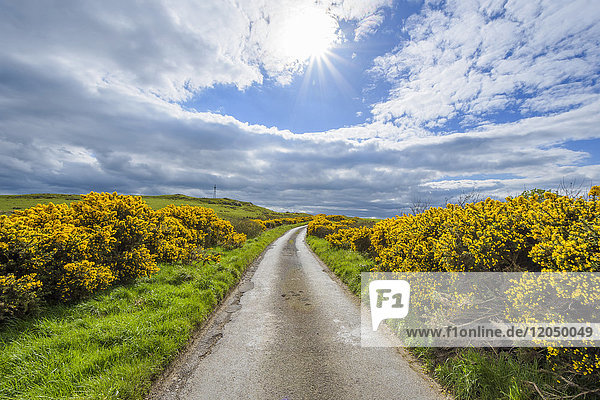Sun over fields and road through countryside in springtime lined with common gorse in Scotland  United Kingdom