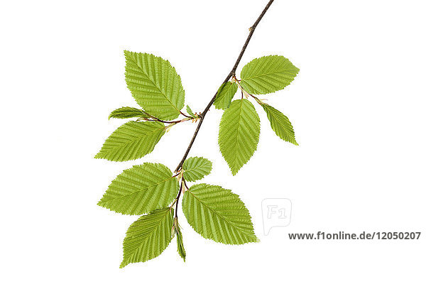 Branch of European Hornbeam (Carpinus betulus) with fresh foliage in spring on a white background  Germany