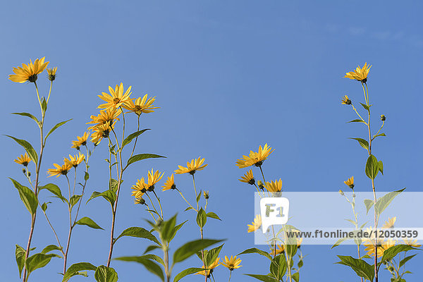 A row of Jerusalem artichokes with blossoms against a blue sky in Bavaria  Germany