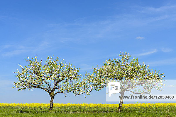 Blossoming Apple Trees in Spring  Bad Mergentheim  Baden-Wurttemberg  Germany