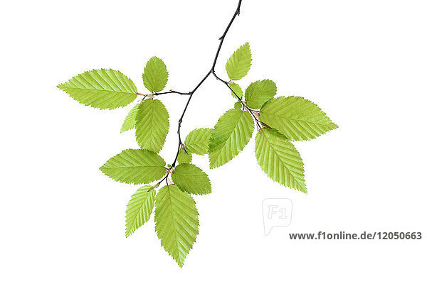 European Hornbeam (Carpinus betulus) with fresh foliage in spring on a white background  Germany