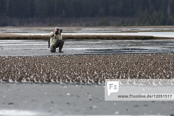 Man Photographing Shorebirds At The Cordova Shorebird Festival  Southcentral Alaska  USA