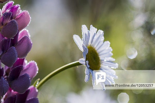Flowers Sparkle With Dew On A Spring Morning; Astoria  Oregon  United States Of America