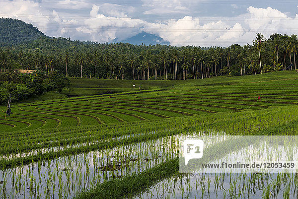 The Rice Terraces Of Northwest Bali; Bali  Indonesia