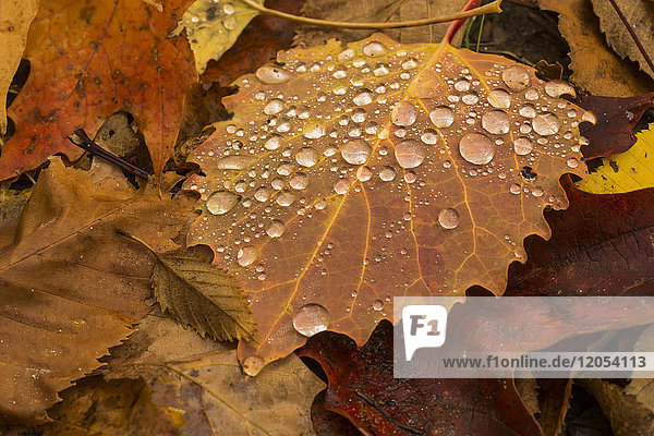 Water droplets on a brown Aspen leaf on the forest floor in autumn; Ontario  Canada
