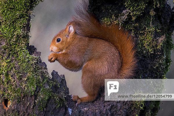 Porträt des essenden eurasischen roten Eichhörnchens
