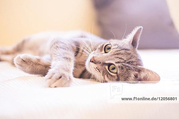 Tabby Katze entspannt auf dem Bett Tabby Katze entspannt auf dem Bett