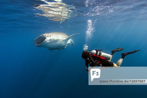 Indonesien  Papua  Cenderawasih Bay  Taucher beobachten Walhai