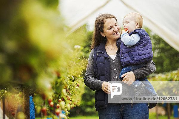 Eine erwachsene Frau und ein Kleinkind  Mutter und Sohn in einem Polytunnel zwischen Weichobststräuchern beim Pflücken und Verkosten von Herbsthimbeeren.