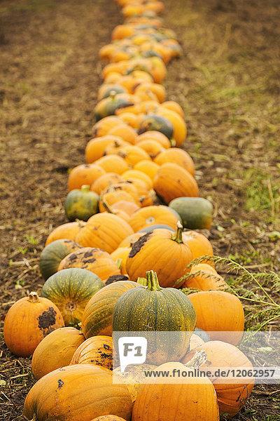 Reihen von leuchtend gelben  grünen und orangefarbenen Kürbissen  die geerntet und im Herbst zum Trocknen auf den Feldern liegen gelassen werden.