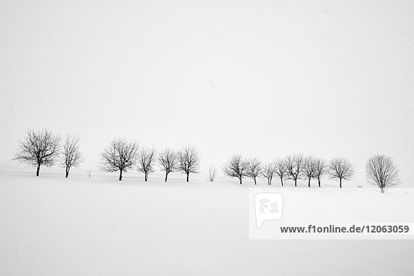 Snow-covered winter landscape with group of trees in the distance  Biei.