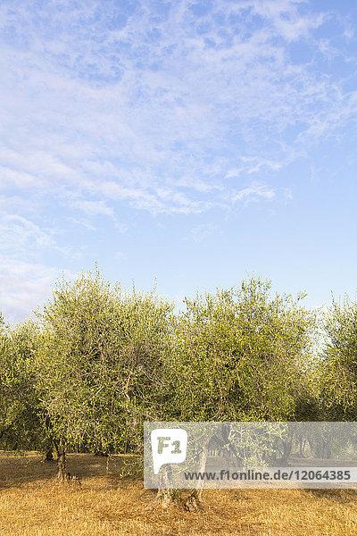 Olive trees plantation in Italy