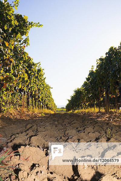 View of Vineyards against sky
