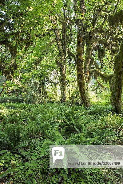 Big Ferns on Hall of Mosses Trail in the Hoh Rain Forest iin Olypmic National Park in Washington State in the United States.