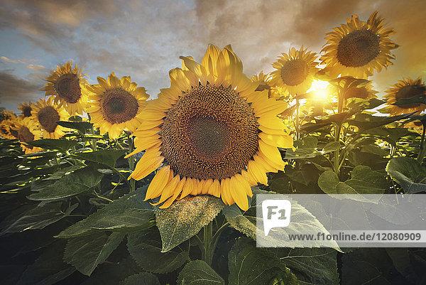 Spanien  Sonnenblumenfeld bei Sonnenuntergang