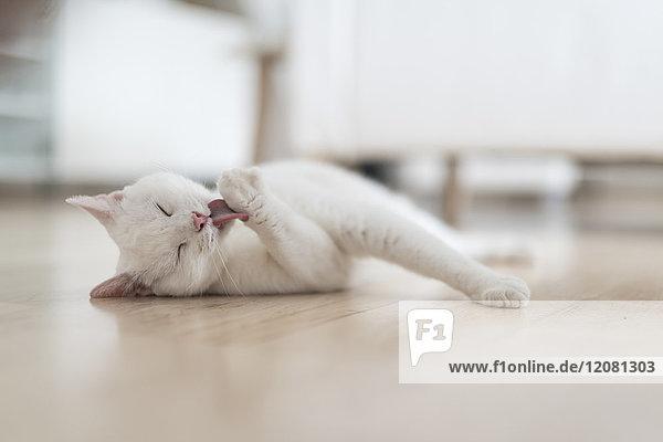 Weiße Katze liegt auf dem Boden des Wohnzimmers und leckt die Pfote.