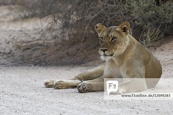 African lion (Panthera leo)  lioness lying on dirt road at dusk  alert  Kgalagadi Transfrontier Park  Northern Cape  South Africa  Africa.
