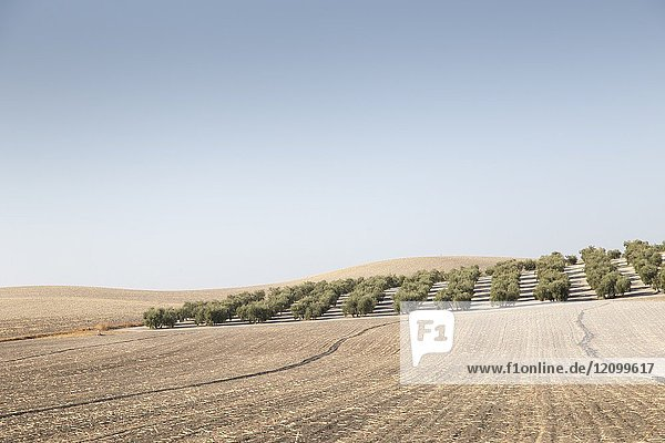 Country landscape with olive trees in Seville province  Andalusia  Spain.