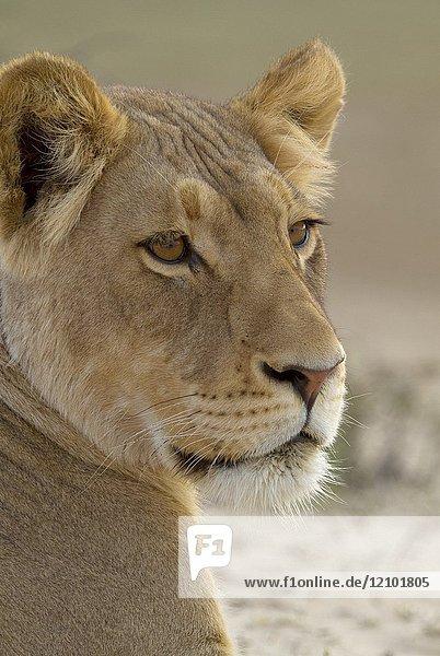African Lion (Panthera leo) - Female  Kgalagadi Transfrontier Park  Kalahari desert  South Africa.