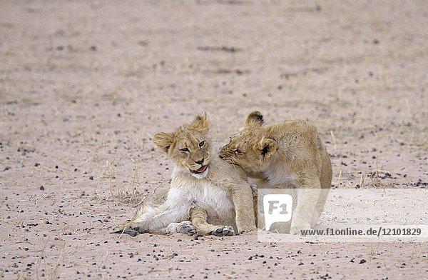 African Lion (Panthera leo) - Cubs  Kgalagadi Transfrontier Park  Kalahari desert  South Africa.