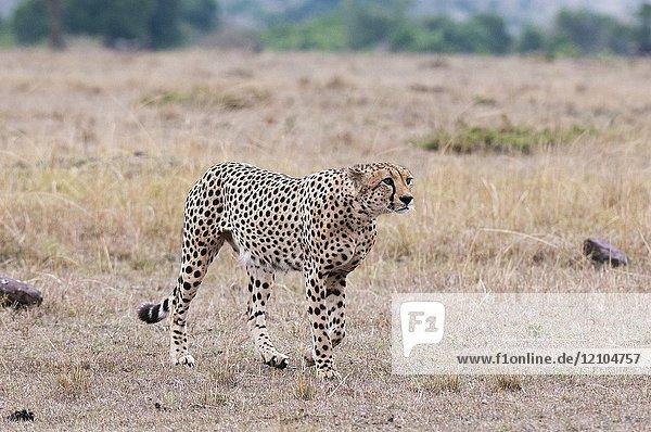 Cheetah (Acinonyx jubatus)  Masai Mara  Kenya.