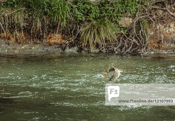 Fische  die an einer Angelschnur gefangen werden  die aus dem Fluss springt  Mozirje  Brezovica  Slowenien