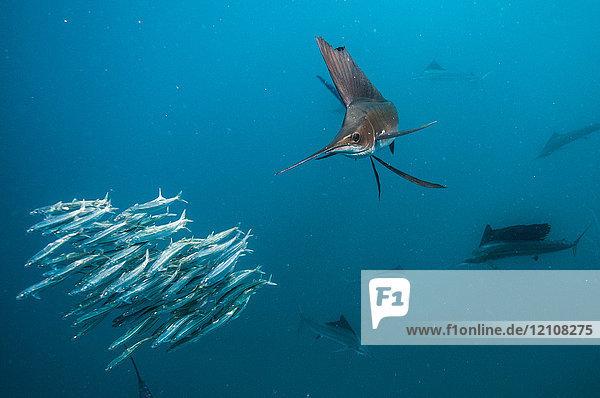 Segelfische jagen Sardinenköderbällchen nahe der Oberfläche
