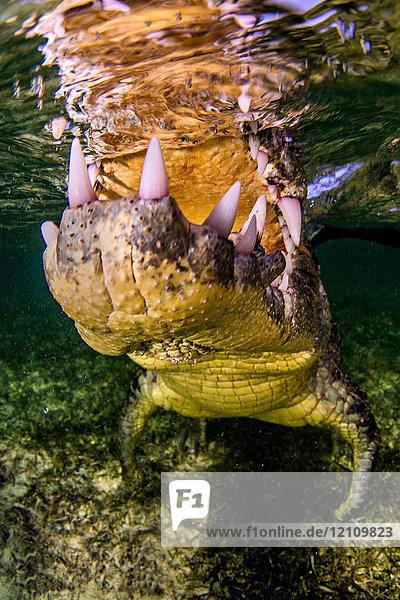 Kiefer eines Krokodils