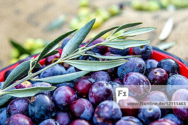 Colander of freshly gathered olives