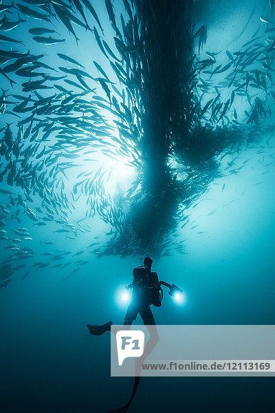 Unterwasseraufnahme eines Gerätetauchers beim Tauchen unter Schwärme von Makrelen im Blauen Meer  Baja California  Mexiko