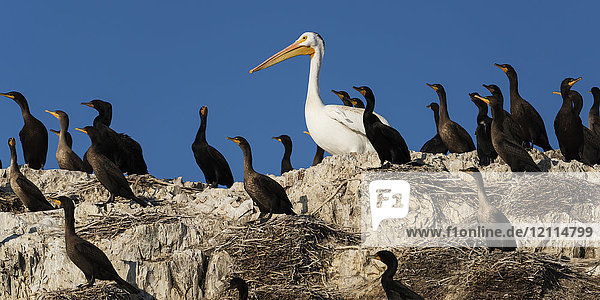 Double-crested cormorants (Phalacrocorax auritus) stand on rocks among nests with a pelican; Ontario  Canada