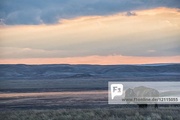 Bison (bison bison) grazing at sunset  Grasslands National Park; Saskatchewan  Canada