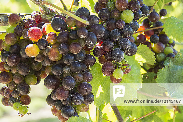 Close-up of ripening grapes hanging from the vines backlit by the sunlight; Waupoos  Ontario  Canada