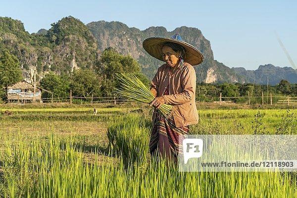 Ältere Frau auf dem Feld bei der Reisernte  Hpa-an  Myanmar  Asien