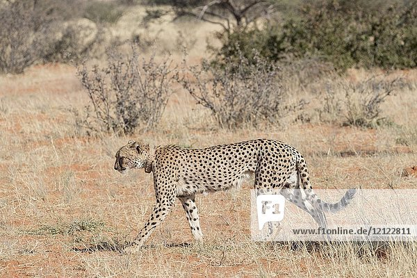 Africa  Southern Africa  South African Republic  Kalahari Desert  Cheetah (Acinonyx jubatus)  adult female.