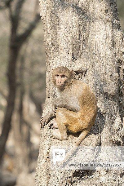 Asia  India  Rajasthan  Ranthambore National Park  Rhesus macaque or Rhesus monkey (Macaca mulatta mulatta).