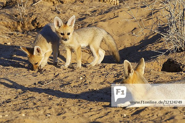 Cape fox (Vulpes chama)  lying mother with cubs  in front of the burrow  evening light  Kgalagadi Transfrontier Park  Northern Cape  South Africa  Africa.