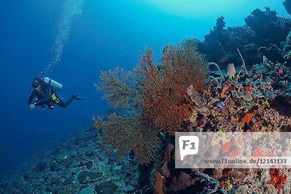 Indonesien  Bali  Nusa Lembonga  Nusa Penida  Taucherin am tropischen Korallenriff