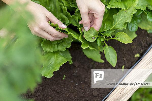 Hände der Frau beim Ernten von Salat