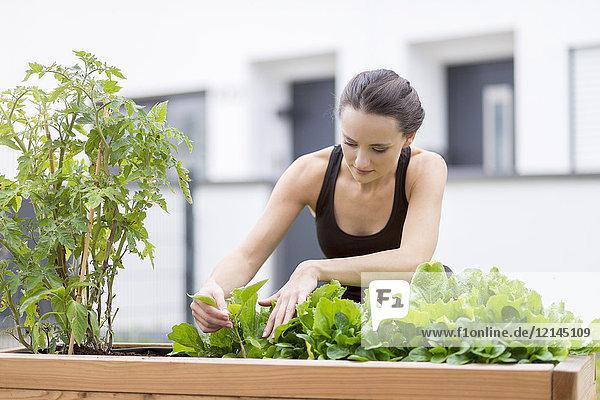 Junge Frau beim Ernten  Beet mit Salat und Kräutern im Garten