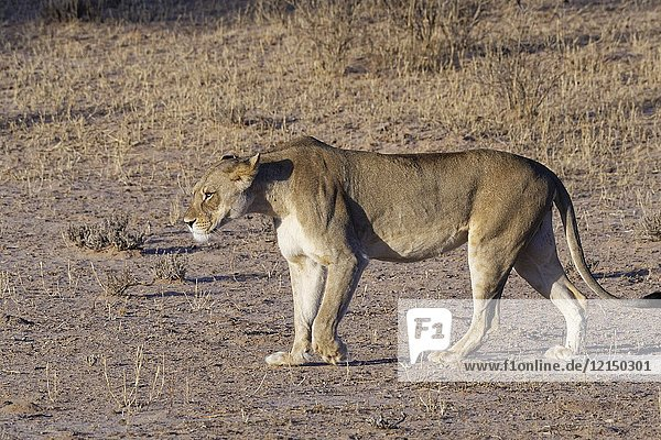 African lion (Panthera leo)  lioness walking  evening light  Kgalagadi Transfrontier Park  Northern Cape  South Africa  Africa.