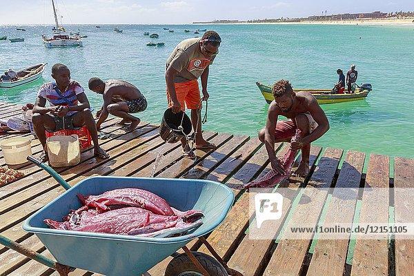 Local fishermen gutting and preparing freshly caughttuna at the wooden pier  Santa Maria  Sal Island  Salina  Cape Verde  Africa.
