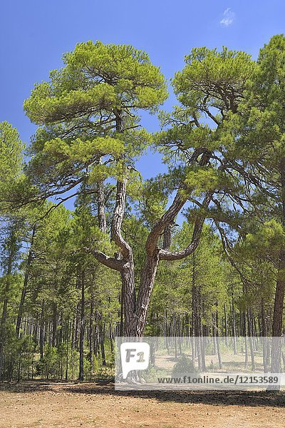 Big and old Pinus nigra  Austrian Pine  Las Majadas  Cuenca province  Spain