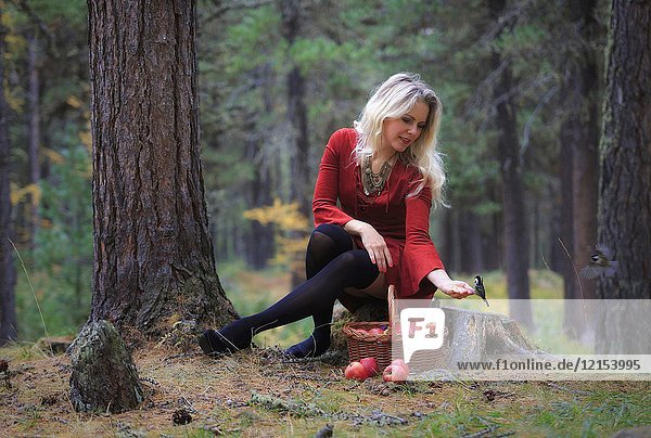 Girl in a red dress sit in a forest with a basket of apples with little birds coming on her hand  engadin  canton grisons  switzerland.
