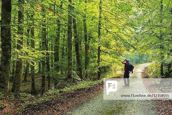 Man and beechwood. Otsaportillo route. Urbasa-Andia Natural Park. Navarre  Spain  Europe.