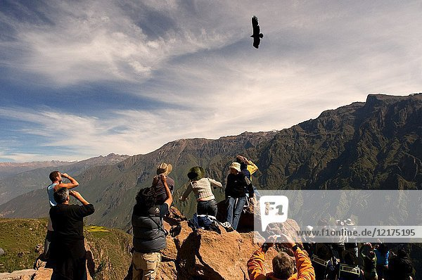 Cruz del Condor  Viewpoint at Colca Canyon  Peru. In the Cruz del Cóndor  tourists look for the best place where they can spot the Andean condor flying over the canyon.