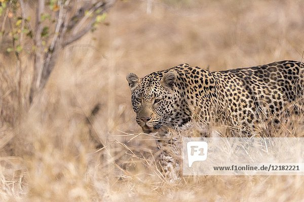 Africa  Southern Africa  South African Republic  Mala Mala game reserve  savannah  African Leopard (Panthera pardus pardus)  resting on the ground.