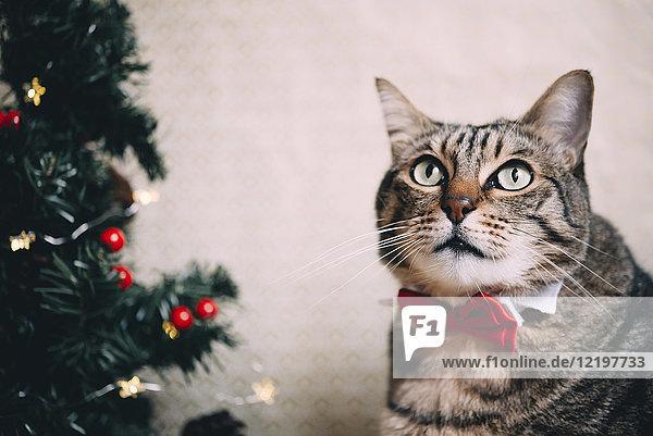 Portrait der Katze mit Kragen und roter Fliege zur Weihnachtszeit